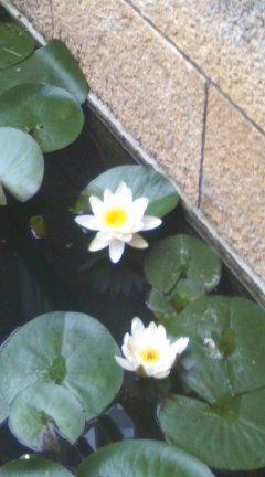 大山崎美術館の睡蓮